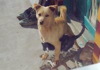 這才是中國的神犬,延續幾千年,忠誠又好養,甩洋犬幾條街!