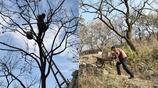 看著揪心!65歲農村老漢爬10米高樹摘柿子,1 元一斤遊客還嫌貴