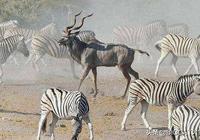 和斑馬競爭有何後果?研究發現羚羊距離斑馬越近,越易被獅子捕食