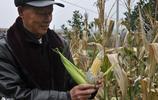 """農村大叔種的玉米上長出""""平菇"""",一數有20多個,可以涼拌來吃"""