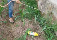 雲南賓川縣一農村小哥幫我搞的一個田間實驗