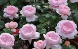 美到窒息的月季,看一眼就忘不掉,你種過哪幾種?