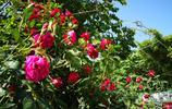 西安城南最大的花卉市場,一盆玫瑰只要15,就是離城區有些遠