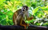 動物圖集:形似松鼠的松鼠猴