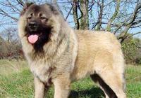 世界上最凶猛的犬之高加索犬