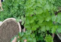 芹菜根不要再扔了,種土裡可以吃半年!