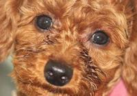 泰迪犬有淚痕怎麼辦?