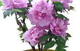 走進小姨家滿屋飄香!原來他養了這些月季盆栽,每一種都亭亭玉立