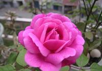 越開花月多,越開花越豔!月季盆景好管理,全靠這6步!