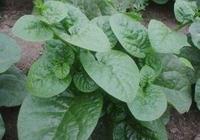 它是我國的古老蔬菜營養價值高 你知道它的作用嗎