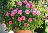 這七種月季,新手種植也容易開出大量美花