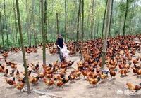 在山林裡養5千隻土雞,需要投資多少錢?一年能有多大的利潤?