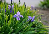 藍紫色的鳶尾花,非常適合花園栽培