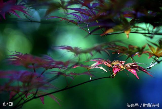 《七絕 · 楓葉情》文/蘭緣