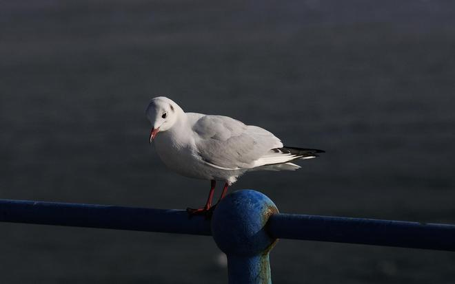 動物圖集:高清動物海鷗高清動物