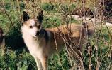 動物圖集:挪威犬