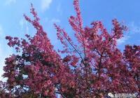 又發現一個廣州的最美校園,粉紅花海在盛開!