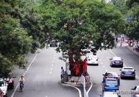 「神遊濟寧」濟寧千年古槐樹的美麗傳說