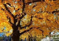 攝影-照片、丹東百年銀杏樹街道,景緻很美,但還需維護!