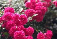 別養桂花了,此花才是我國最香,一年開花200天,美如詩畫