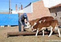 鑲黃旗發展養牛業的基礎越來越鞏固了