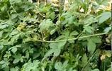 農村有一種害草,人和動物都很怕它,因利用價值高一斤能賣20塊