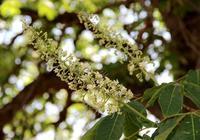 宜君千年娑羅樹花開