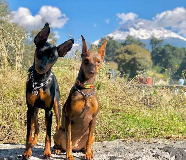 做最優秀的傲羅,秒戰杜賓犬的遺傳病|健康
