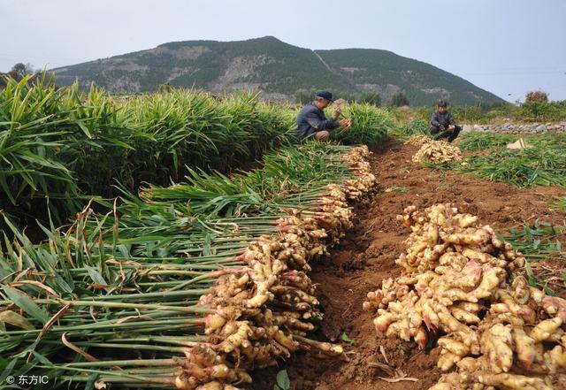 生薑種植技術:生薑進入收穫季節,生薑如何進行種植?