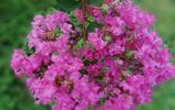 紫薇花的傳奇色彩