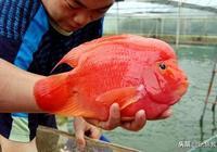 養殖金剛鸚鵡魚能和其他鸚鵡魚一樣嗎?
