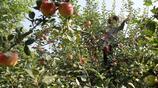農民賣蘋果如打仗凌晨3點去排隊不敢回家吃飯,一天喝掉20多斤水充飢
