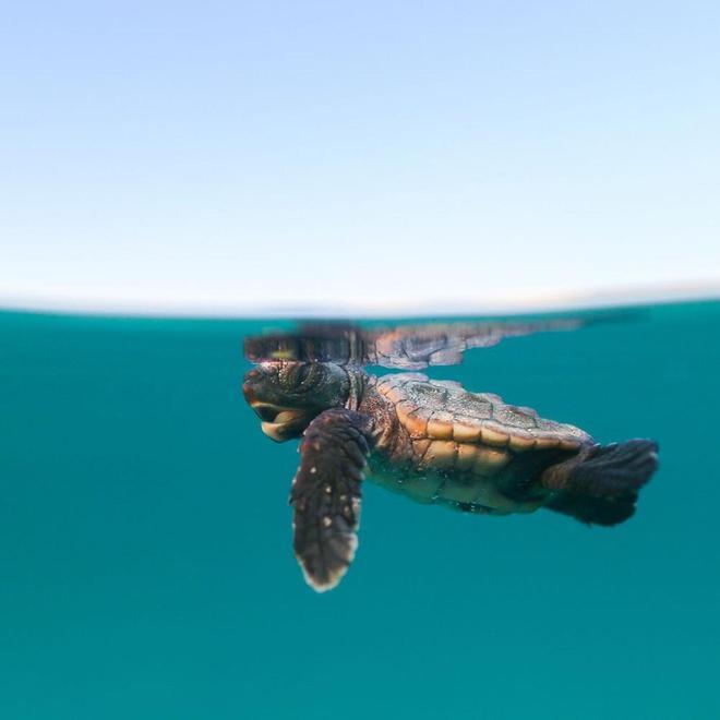 攝影欣賞:如果你也喜歡小動物,這組小海龜照片一定能萌化你的心