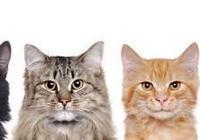 最受歡迎的3種寵物貓:布偶貓最美,英短貓咪最喵美價廉!