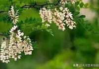 『原創』槐樹花開