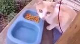 懷孕母貓吃著美食,結果沒上嘴就多了個娃兒
