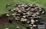 伊拉克的牧羊人