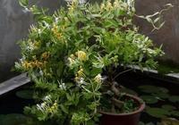 金銀花的養護方法