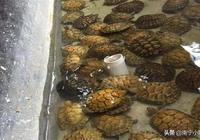 野生烏龜與養殖烏龜怎麼分別?