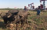 以前農村四處都是水牛,為什麼現在很少見了?聽聽這位大伯怎麼說