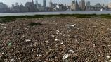 上海陸家嘴濱江灘塗成壯觀垃圾帶 水葫蘆中夾飲料瓶
