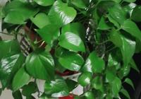 冬天養綠蘿,給它喝3水,抗凍不爛根,蹭蹭長,葉子綠又大