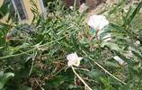 這種植物的花聽說摘了會摔碗的,不知道現在小夥伴有沒有認識的?