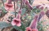 地黃,隨處可見的植物,它的花很漂亮