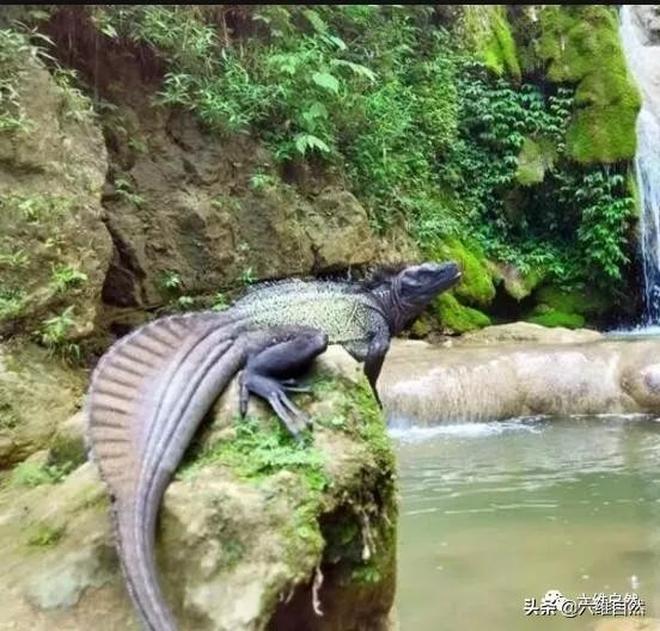 看似比科莫多巨蜥更凶猛的斑帆蜥,卻是新興的爬寵!