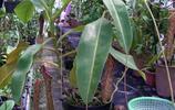 植物圖集:能夠捕捉動物昆蟲的豬籠草