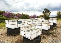 聽說過蜜蜂冬天飛逃的嗎?冬季蜂群管理重點,關鍵時刻蜜蜂不見了