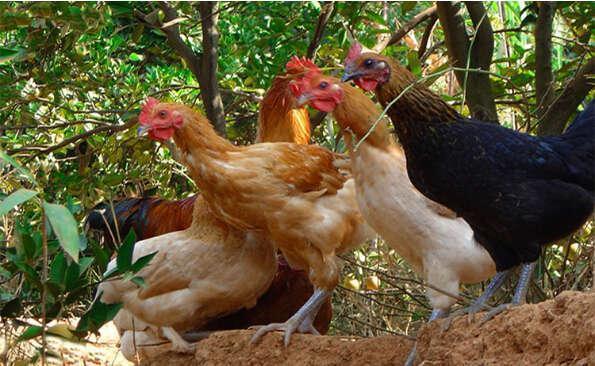 養雞技術分享:概率學養雞