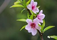 桃花朵朵開,我在君要來