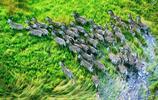 動物圖集:平靜的斑馬